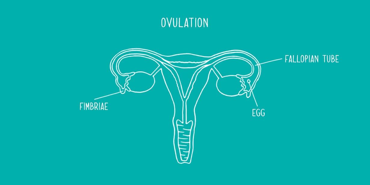 dating graviditet fra implantation