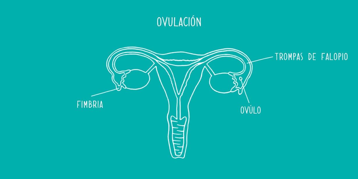 la ovulacion produce sueno